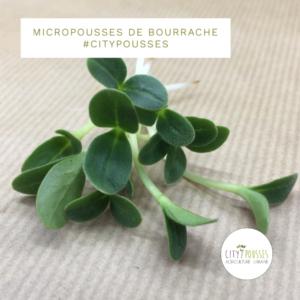 Micropousses de Bourrache - Citypousses. Pousses bio cultivées sur fibre de coco à Clamart. Agriculture urbaine - ferme urbaine - cityculteur