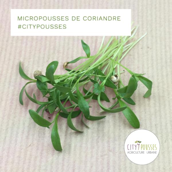 Micropousses de Coriandre – Citypousses. Pousses bio cultivées sur fibre de coco à Clamart. Agriculture urbaine – ferme urbaine – cityculteur