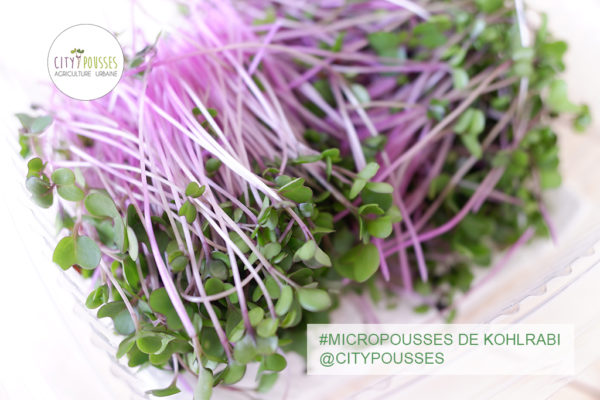 Micropousses de Kohlrabi – Citypousses. Pousses bio cultivées sur fibre de coco à Clamart. Agriculture urbaine – ferme urbaine – cityculteur