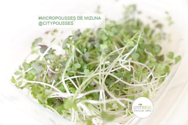 Barquette de Micropousses de Mizuna- Citypousses. Pousses bio cultivées sur fibre de coco à Clamart. Agriculture urbaine – ferme urbaine – cityculteur