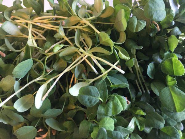 Micropousses de Fenugrec – Citypousses. Pousses bio cultivées sur fibre de coco à Clamart. Agriculture urbaine – ferme urbaine – cityculteur